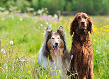Collie and Irish Setter. In the middle of the Swedish summer meadow sits these ladies and enjoying the the flowers. The Setter is wet after an swim in the lake Royalty Free Stock Photos