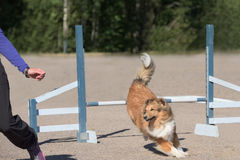 Collie jumps over an agility hurdle Stock Photography
