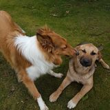 Collie Kissing Another Dog royalty-vrije stock foto