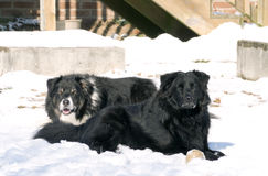 Collie and Labrador in the snow Stock Photography
