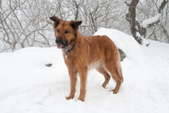 Collie like brown herding dog. Standing in the snow Royalty Free Stock Photo