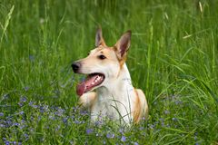 Collie liso Imagem de Stock Royalty Free