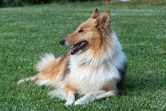 Collie lying. Profile collie lying on grass Royalty Free Stock Image