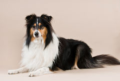 Collie lying Stock Photography