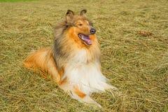 Collie manlig rashund arkivbild