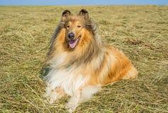 Collie manlig rashund royaltyfria bilder