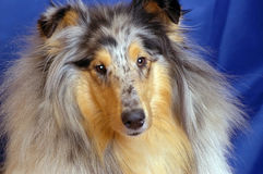 Collie marble Stock Images