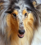 Collie marble. Dog  breed collie marble paint, portrait front close-up Stock Image
