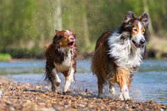 Collie-Mix dog and Australian Shepherd running in a river royalty free stock photo
