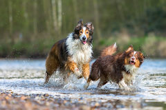Collie-Mix dog and Australian Shepherd running in a river royalty free stock images