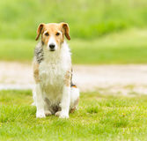 Collie mix sitting Royalty Free Stock Image