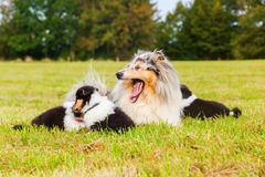 Collie mother with her puppies Stock Photo