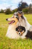 Collie mother with her puppies Royalty Free Stock Photography