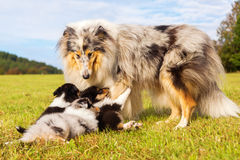 Collie mother with her puppies Stock Image
