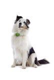Collie ou sheepdog de Shetland fotos de stock