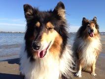 Collie på stranden Fotografering för Bildbyråer