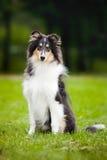 Collie pequeno novo do filhote de cachorro Foto de Stock