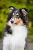 Collie pequeno novo do filhote de cachorro Imagens de Stock