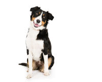 Collie,. Picture of a border collie on a white seamless background stock photo