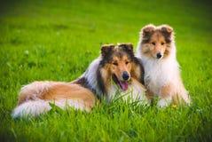 Collie pies zdjęcia royalty free