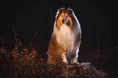 Collie pies obrazy royalty free