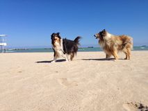 Collie pies przy plażą Zdjęcie Stock