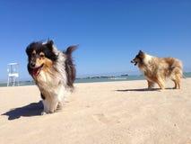 Collie pies przy plażą Zdjęcia Stock