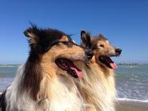 Collie pies przy plażą Fotografia Stock