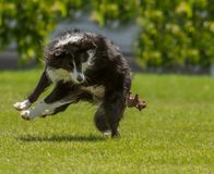 Collie at Play Royalty Free Stock Photography