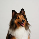 Collie Portrait. Portrait of a collie breed dog. Taken in studio royalty free stock photography