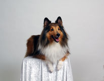 Collie Portrait 2. Beautiful collie breed dog, sitting upright on a table. Taken in studio stock image