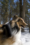 Collie Profile. Profile of a proud collie at the park Royalty Free Stock Images