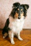 Collie psi obsiadanie na podłoga Zdjęcia Royalty Free