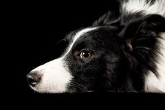 collie psi Shetland Zdjęcia Stock