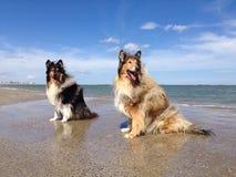 Collie psy przy plażą Obraz Royalty Free
