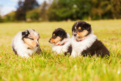 Collie puppies royalty free stock image