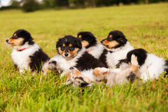 Collie puppies Royalty Free Stock Images