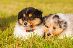 Collie puppies Stock Image