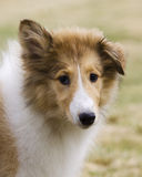 Collie puppy Royalty Free Stock Photography