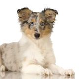 Collie puppy. In front of a white background royalty free stock photos