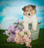 Collie Puppy. Beautiful Collie puppy sitting in a bucket in the grass with flowers around her, with copy space stock image
