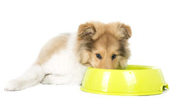 Collie puppy with a bow. L on a white background in studio stock photo