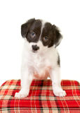 Collie puppy eyes Stock Photos