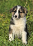 Collie puppy Royalty Free Stock Photos