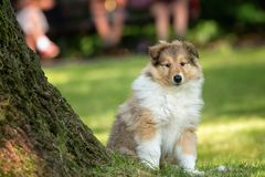 Of Collie puppy on meadow. Portrait of long-haired collie puppy stock images