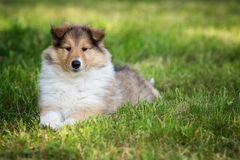 Of Collie puppy on meadow Royalty Free Stock Image
