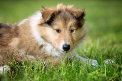 Of Collie puppy on meadow Royalty Free Stock Photo