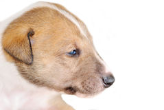 Collie puppy Stock Images