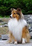 Collie puppy seating Royalty Free Stock Image