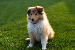 Collie puppy sitting down on green field at sunlight royalty free stock photography
